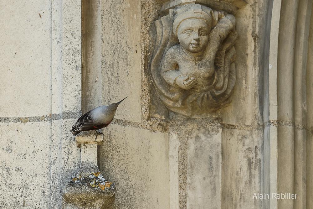 Tichodrome échelette - Ligue pour la protection des oiseaux