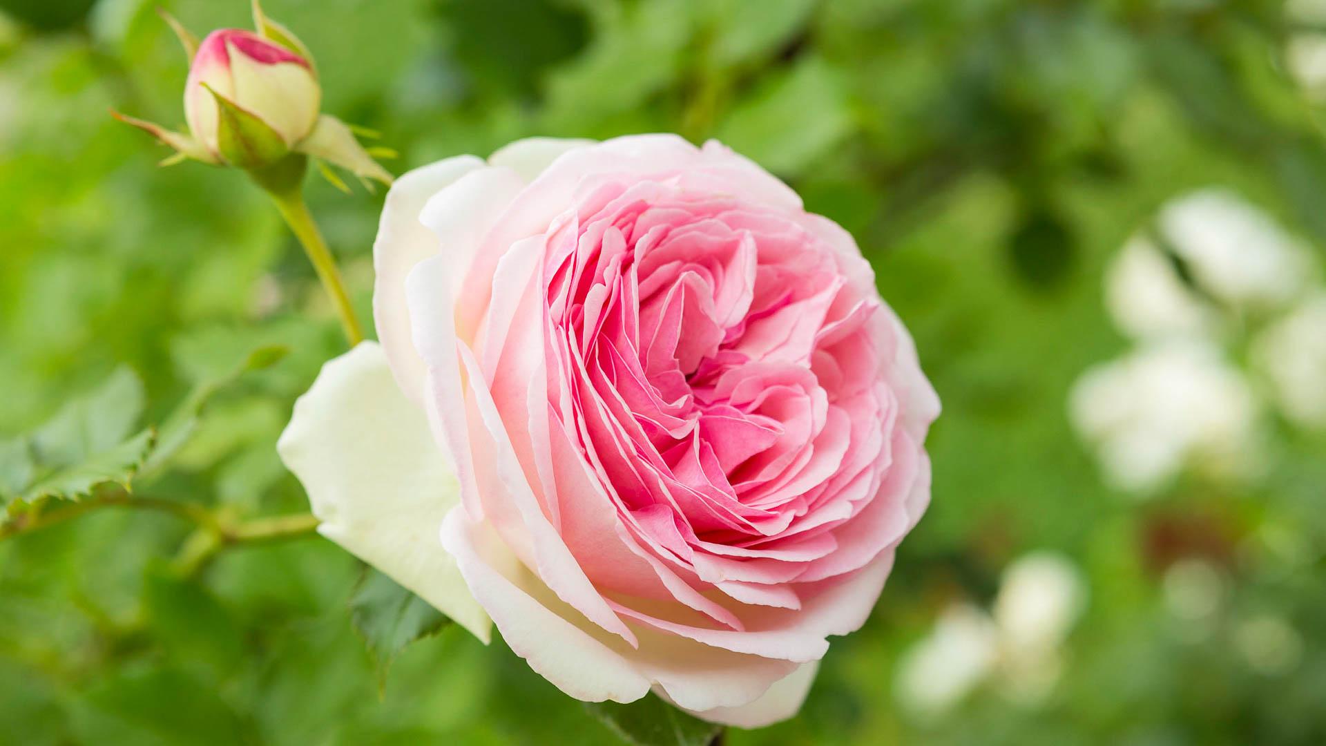 Taille des rosiers les conseils du jardinier de villandry for Conseil du jardinier