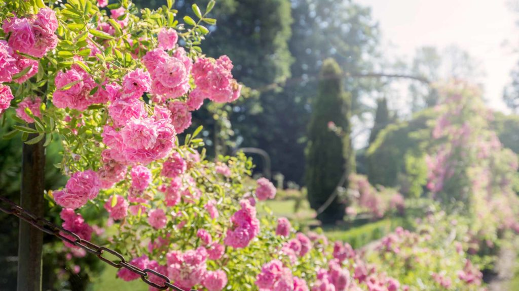Taille des rosiers les conseils du jardinier de villandry - Taille des framboisiers non remontants ...
