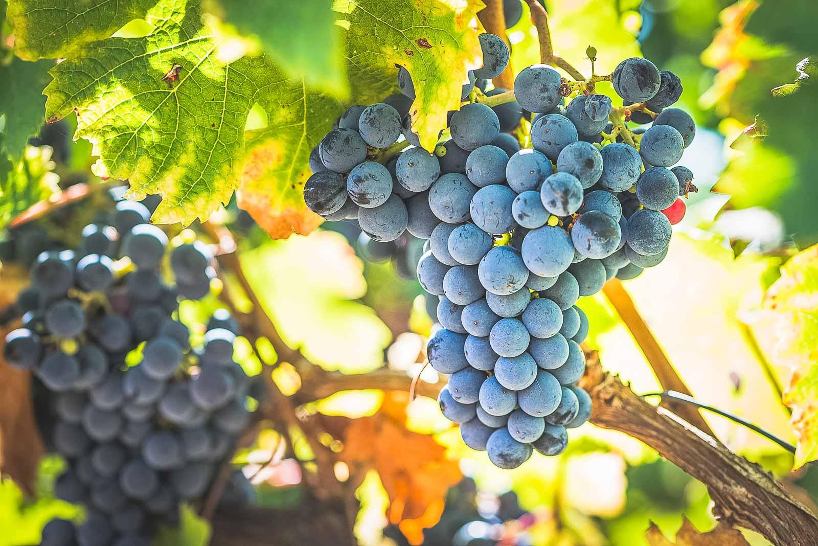 Route des vins en Touraine : le cabernet franc