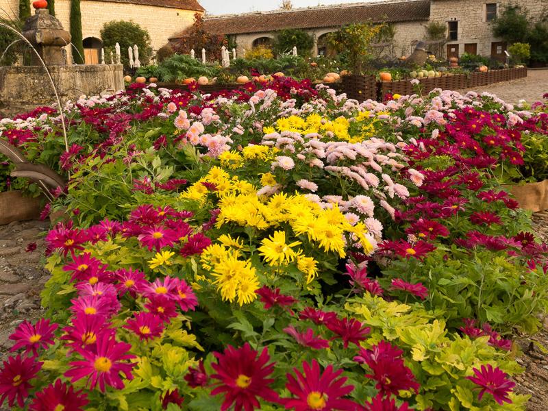 Fleurs d'automne - Les chrysanthèmes du château du Rivau