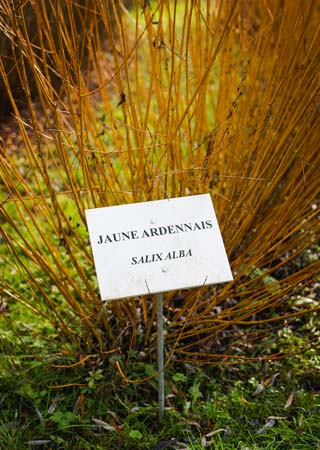 Oseraie avec tiges d'osier Salix Alba dans une haie au jardin. De futurs brins à tresser...