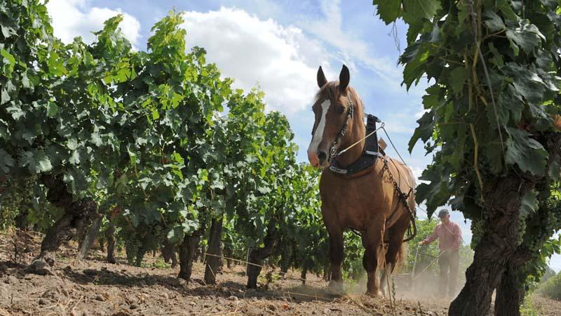 Labour à cheval dans les vignes de Bourgueil