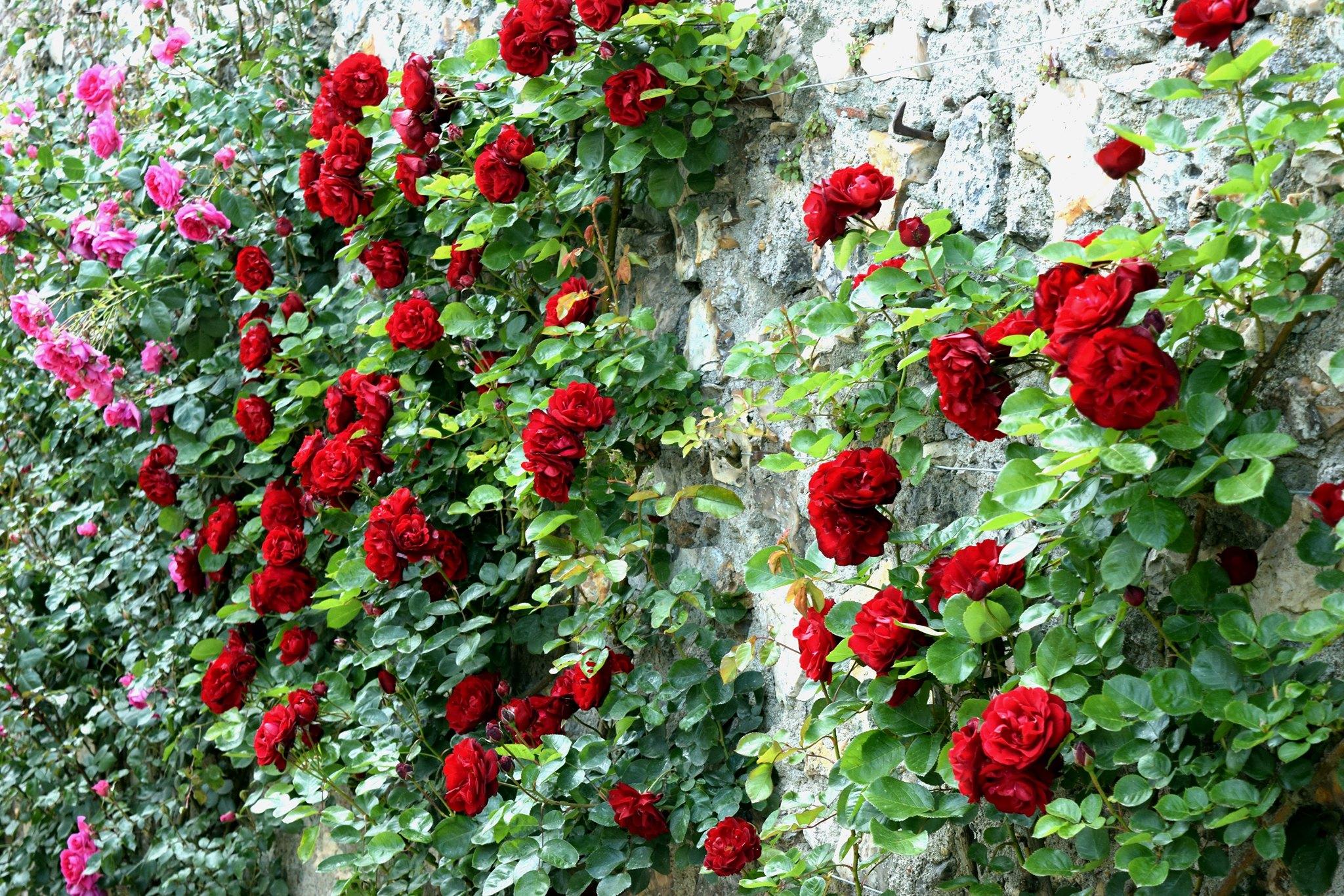 Les roses du château de Villandry