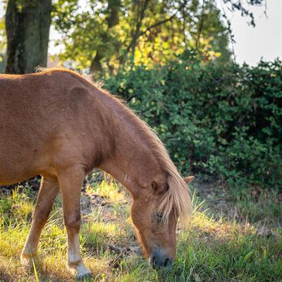 Promenade à cheval d'une durée d'une heure à partie du ranch et ses écuries - Balades et randonnées équestres dans la nature avec Touraine Cheval, en France, près de Candes Saint Martin. Forêt, lac, plage de Loire...