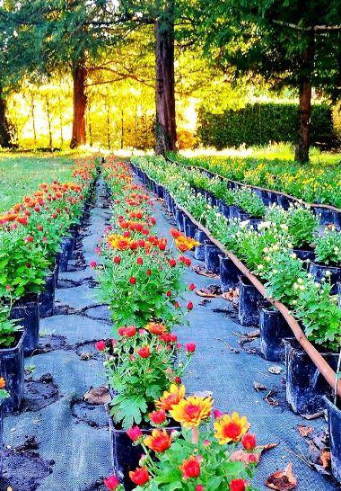 Fleurs d'automne - De nombreuses variétés de bouquets pour le jardin au Rivau. Variété de plante et fleur en pot ou en terre, selon le sol drainé, la hauteur des tiges, la couleur. Livraison selon la liste.