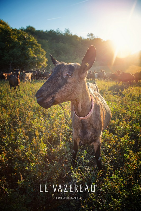 Le fromage de chèvre de sainte-maure-de-touraine, la star caprine du plateau de fromage, avec sa paille de seigle et sa forme de buche. Le sainte-maure-de-touraine est le fromage de chèvre le plus consommé en France, avant le Chavignol, la pyramide de Valençay, le Pouligny-Saint-Pierre, le Selles-sur-Cher, le Pélardon, le chabichou, le Rocamadour, le chavrou, le soignon...