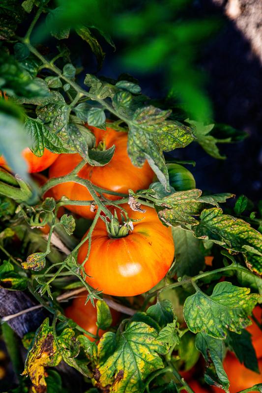 Festival de la tomate & des saveurs-3