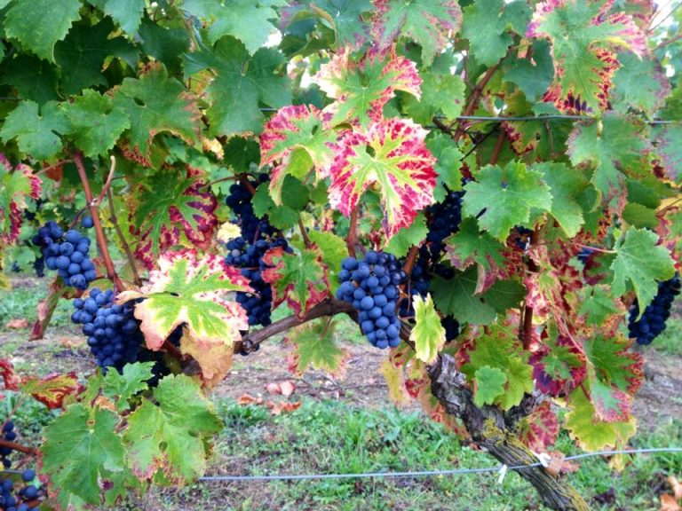 Vignobles du Paradis-8