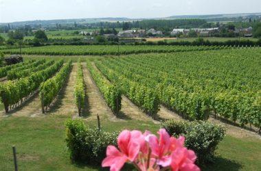 Vignoble de l'AOC chinon à Panzoult