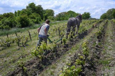 Travail des vignes avec le cheval